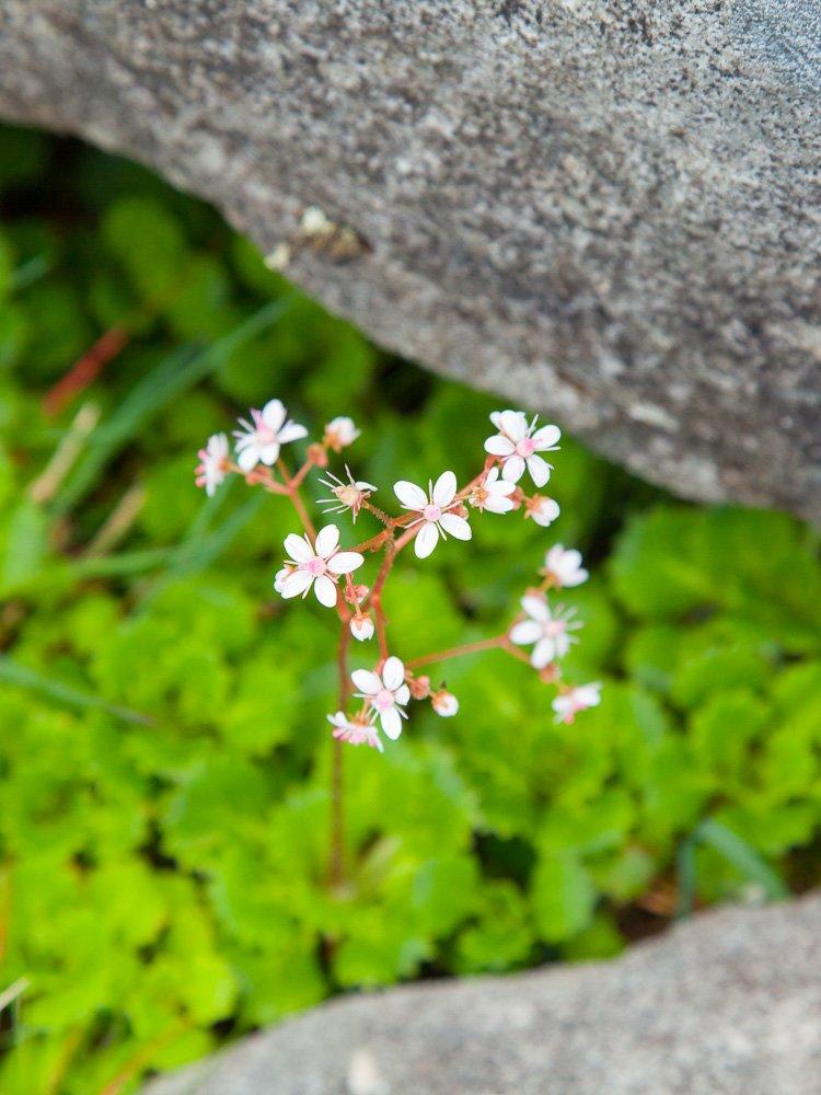 saxifrage-croaghaun-achill